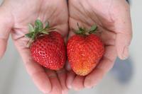 イチゴ楽しみました - ぬるぅい畑生活