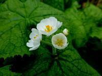 嵐山・北邦野草園で咲く花 (一)   - 野に咲く北国の花