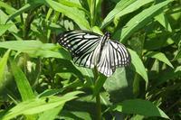 ■ アカボシゴマダラ 春型 ♂   17.5.21 - 舞岡公園の自然2