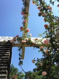 バラの開花状況@生田緑地バラ苑 - うつわ愛好家 ふみの のブログ