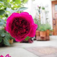 2つめの物干し場と薔薇と - * cinqante - サンカント *