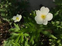 庭の花、五月 - ひいぽぽタイムスNO.2