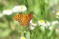 クモガタヒョウモン   ハルジオンの草原で - 蝶のいる風景blog