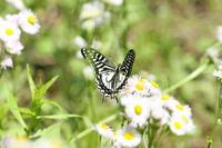 ウラギンヒョウモン   蝶に励まされて - 蝶のいる風景blog