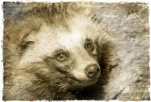 ホンドタキ:Japanese Raccoon Dog - 動物園の住人たち写真展