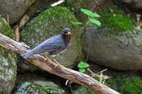 お山の水場で:クロツグミ - 武蔵野の野鳥