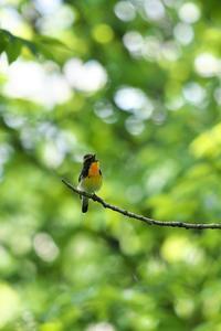 キビタキ 6 - きままに鳥見.