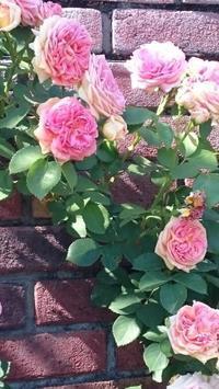 薔薇を見に - 気づいたことを残したいだけ。