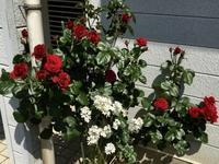 今年の薔薇 2&匂棕櫚蘭 - NILE Saloon Diary