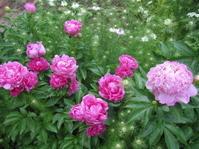 芍薬賛歌 - 花の自由旋律