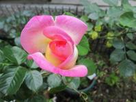 プリンセス・ドゥ・モナコ咲く - 花の自由旋律