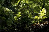 絞りの違いによる玉ボケ☆小石川後楽園シダ編 - MIRU'S PHOTO