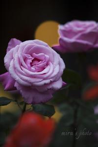 月と星空に見立てて☆旧古河庭園の薔薇 - MIRU'S PHOTO