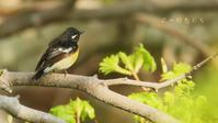 ムギマキ - 北の野鳥たち