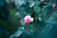 薔薇 - 光の贈りもの