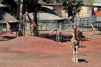 「ユルリ」とキリンのエサタイム - 動物園放浪記