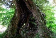 椎の木 - みなかわ写瞬間