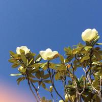 泰山木の花 - ねこまるのときどき日記