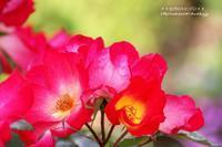あかしろきいろのバラの花の盛り!!! - 自然のキャンバス