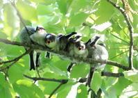 エナガ団子 - 『彩の国ピンボケ野鳥写真館』