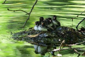 カイツブリ05月20日 - 旧サンヨン(Nikon 300mm f/4D)野鳥撮影放浪記