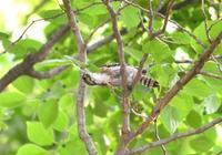 コゲラも繁殖期 - 西多摩探鳥散歩