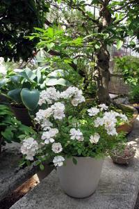 ウチの薔薇 - リリ子の一坪ガーデン