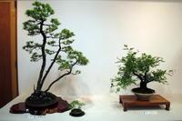 地元の盆栽展 - リリ子の一坪ガーデン