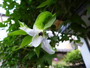 珍しいクレマチスの花 - はーれー君の陶芸etc