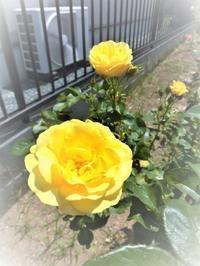 バラが咲きました - ホームプラザ大東の家づくり現場