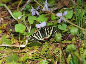 今頃になって今年2回目のギフチョウ - 蝶超天国