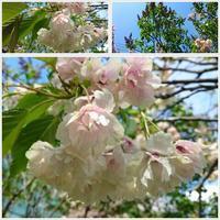 御衣黄桜と食いしん坊 - 気ままな食いしん坊日記2