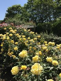 元気なパワーをもらえる 黄色の薔薇たち。 - るなとゆずと * 私の時間 ♪