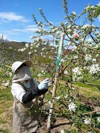 りんごの摘果作業 - おはけねこ