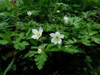 嵐山・北邦野草園で咲く花 (二) - 野に咲く北国の花