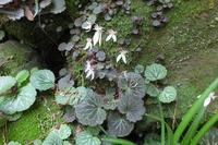 ■ ユキノシタ   17.5.22 - 舞岡公園の自然2