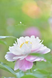 ピオニー - お花びより