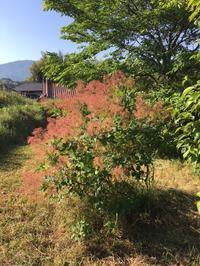 裏山のスモークツリーとヤマモモと - CROSSE 便り
