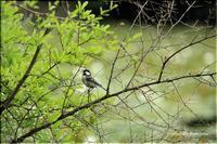 いつもの公園の野鳥と薔薇 Ⅱ - 今日のいちまい