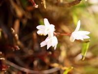 セッコクの花が咲いていました(^.^) - 自然の中でⅡ