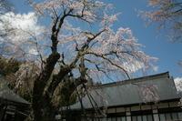 長野 白馬村 貞麟寺のイトマキザクラ 前半 - 日本あちこち撮り歩記