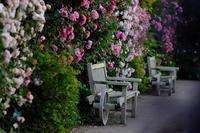 たそがれの薔薇 - PhotoWalker*