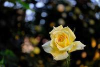 薔薇・情熱 - PhotoWalker*