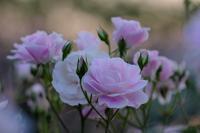 薔薇・happiness - PhotoWalker*