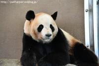 2017年4月 白浜パンダ見隊5 その7 暴れる兄と妹 - ハープの徒然草