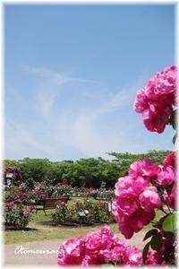 フラワーミュージアム③  薔薇園 - 日々楽しく ♪mon bonheur