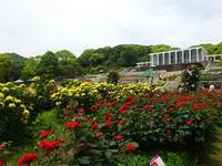 須磨離宮公園のバラ - こまち日和