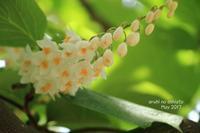 白雲木 - ある日の足跡