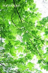 トチノキの若葉 - 小さな森の写真館 (a small forest story)