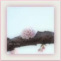 圧倒的桜。2017 Ⅱ   - ロマンティックフォト北海道☆カヌードデバーチョ